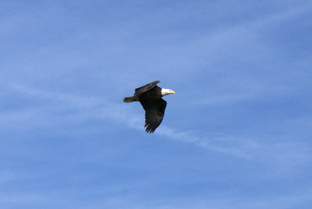 An eagle soars overhead while waiting for the BICB to cross the river.