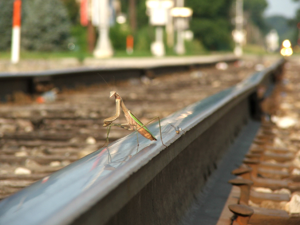 A praying mantis and daddy long legged spider share the rail head as IAIS train RINSU peers around the bend in downtown Ottawa.
